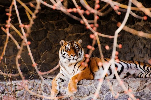 Schöner tiger, herbstzeit
