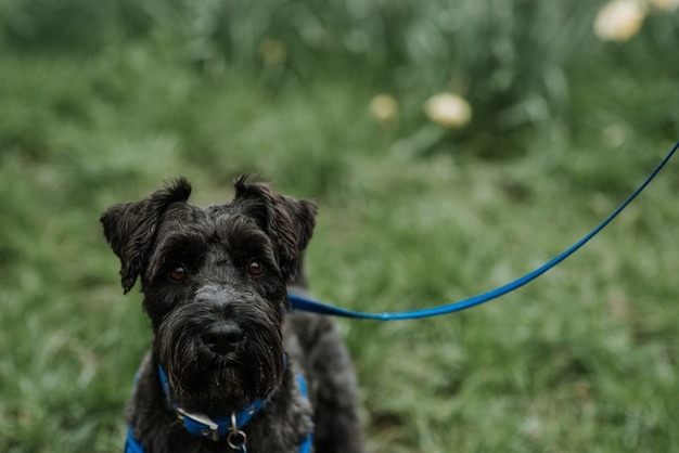 Schöner und flauschiger schwarzer belgischer hund bouvier des flandres an einer blauen leine