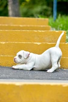 Schöner und niedlicher welpe amerikanischer bulli auf einer betonoberfläche, städtische treppe