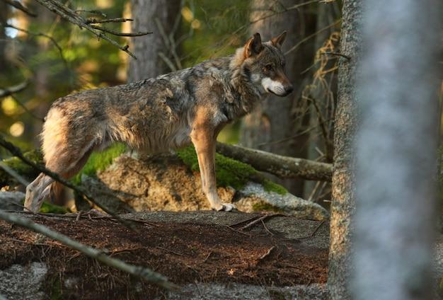 Schöner und schwer fassbarer eurasischer wolf im bunten sommerwald