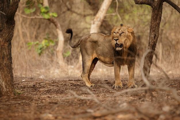 Schöner und seltener asiatischer löwe im naturlebensraum im nationalpark gir