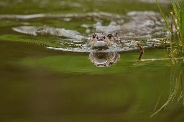 Schöner und verspielter fischotter im naturlebensraum in tschechien lutra lutra