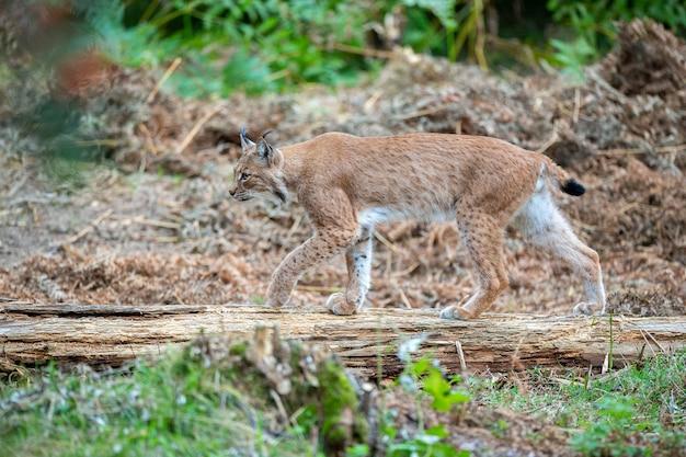 Schöner und vom aussterben bedrohter eurasischer luchs im naturlebensraum lynx lynx