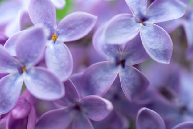 Schöner unscharfer hintergrund von lila blüten von flieder. natürlicher blumenhintergrund.
