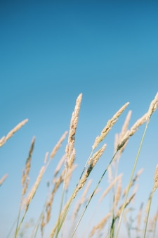 Schöner vertikaler schuss des langen grases, das im wind auf einem hellen blauen hintergrund schwankt