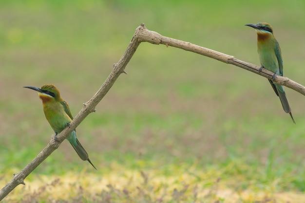 Schöner vogel blau angebundener bienenesser auf einer niederlassung. (merops philippinus)