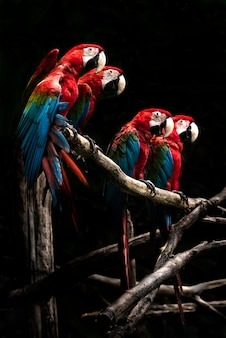 Schöner vogel des scharlachroten macaws lokalisiert auf niederlassung mit schwarzem hintergrund