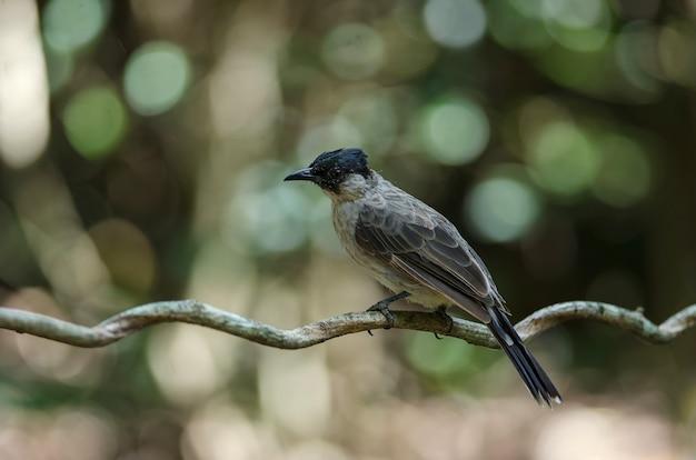 Schöner vogel rußiger vorangegangener bulbul