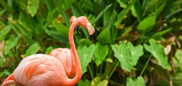 Schöner vogelflamingoorange auf naturgrüner tropischer anlage / karibischem flamingo