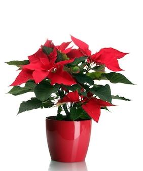 Schöner weihnachtsstern im blumentopf isoliert auf weiß
