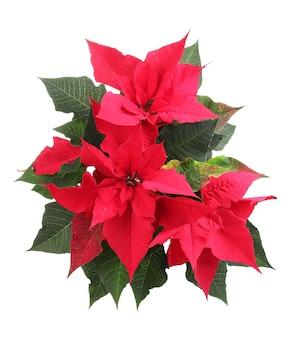 Schöner weihnachtsstern isoliert auf weiß