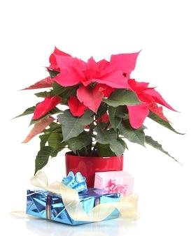 Schöner weihnachtsstern mit verschiedenen geschenken isoliert auf weiß