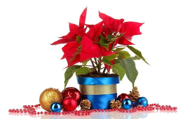 Schöner weihnachtsstern mit weihnachtskugeln isoliert auf weiß
