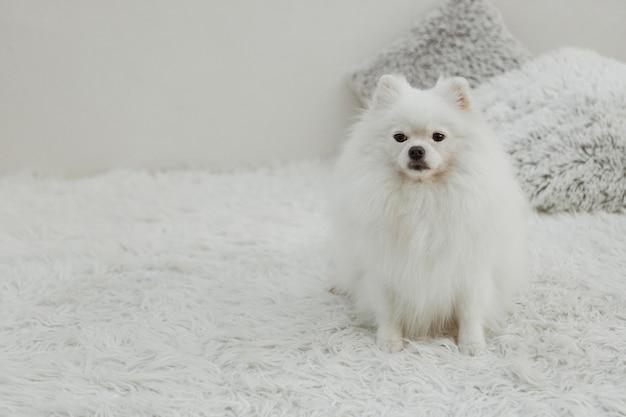 Schöner weißer hund, der auf dem bettkopierraum sitzt