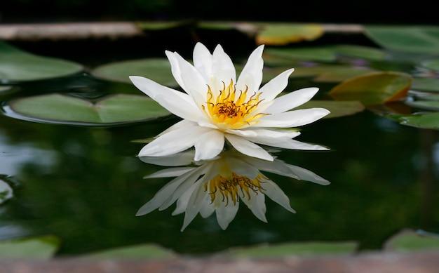Schöner weißer lotos im teich