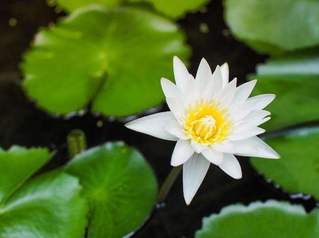 Schöner weißer lotos im tropischen garten. reizender lotosblumenblumenstrauß.
