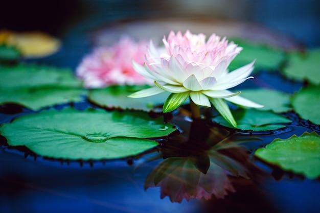 Schöner weißer rosa lotus mit gelbem pollen auf der oberfläche des teiches