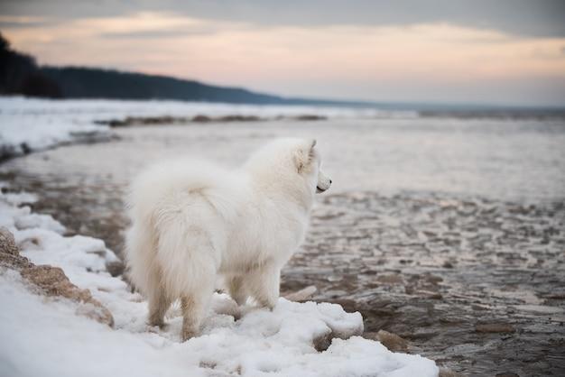 Schöner weißer samojede hund ist auf schnee saulkrasti strand weiße düne in lettland