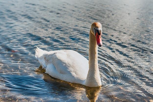 Schöner weißer schwan auf dem see bracciano, italien