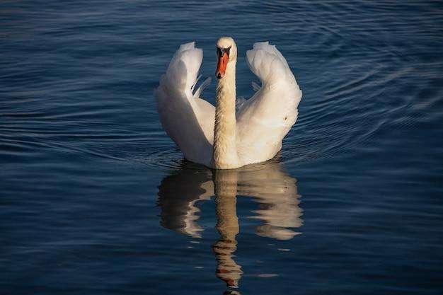 Schöner weißer schwan, der friedlich auf dem wasser schwimmt