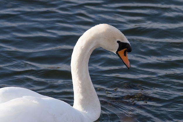 Schöner weißer schwan, der im see schwimmt
