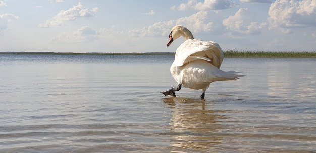 Schöner weißer schwan geht durch das flache wasser eines sauberen frischen sees und trinkt wasser