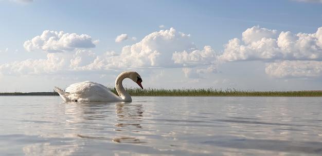 Schöner weißer schwan geht durch die flache