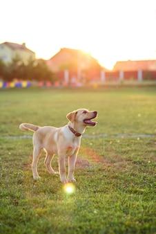 Schöner welpe labrador, der auf dem rasen bei sonnenuntergang oder sonnenaufgang spielt