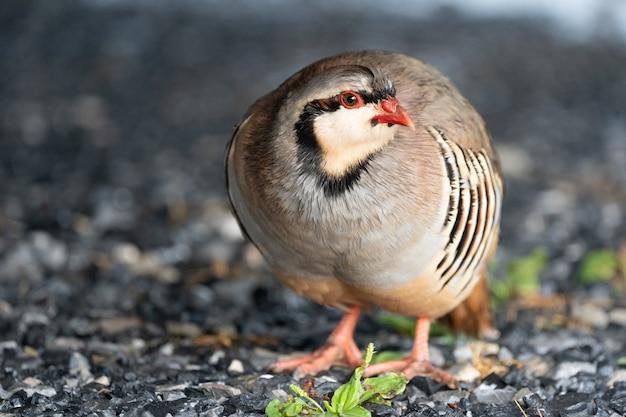 Schöner wilder chukar-vogel auf dem boden