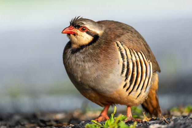 Schöner wilder chukar-vogel im freien.