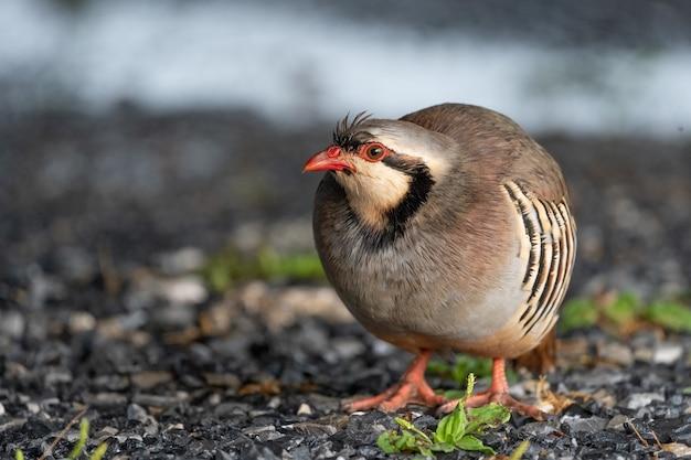 Schöner wilder chukar-vogel in der natur.