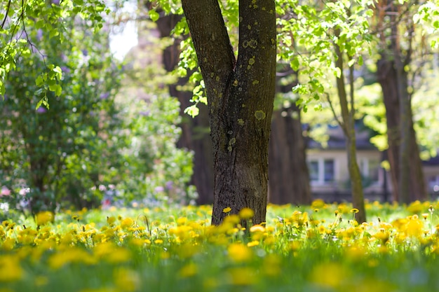 Schöner wilder frühling oder sommer wilder wald oder park am hellen sonnigen tag. dicker großer baumstamm und verschwenderisch blühende gelbe blumen auf unscharfem grünem laub bokeh hintergrund. schönheit der natur konzept.