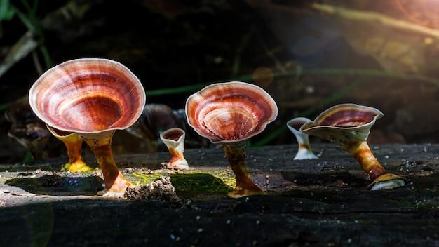 Schöner wilder reishi-pilz im regenwald bei sonnenaufgang