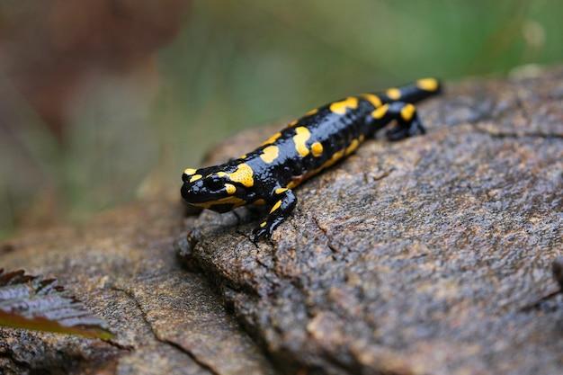 Schöner wilder salamander im naturlebensraum