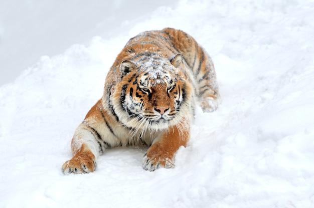 Schöner wilder sibirischer tiger auf schnee