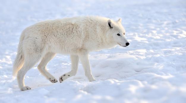 Schöner wilder weißer wolf im winter