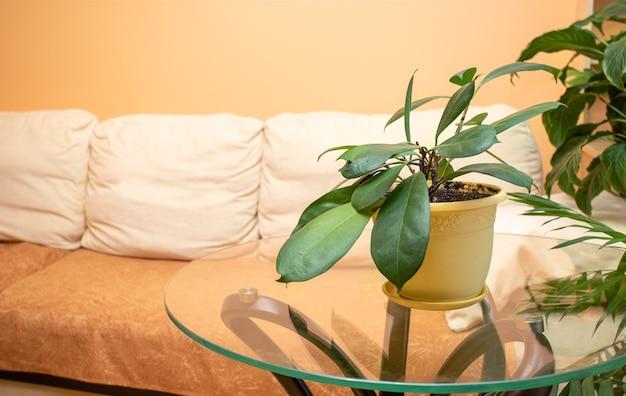 Schöner zimmerpflanzenficus auf rundem glastisch im echten wohnzimmer vor lichtcouch. stilvolles wohnambiente mit zimmerpflanzen.
