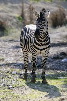 Schönes afrikanisches zebra im freien