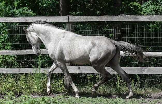 Schönes arabisches pferd zur schau stellt