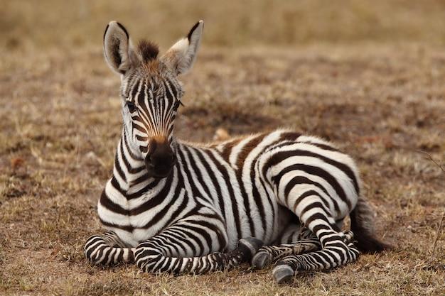 Schönes babyzebra, das auf dem boden sitzt, der im afrikanischen dschungel gefangen genommen wird
