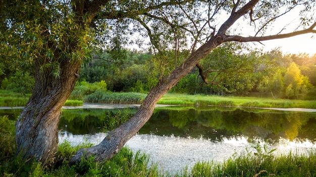 Schönes bild eines alten baumes, der neben einem kleinen teich im wald wächst, der von sonnenuntergang beleuchtet wird