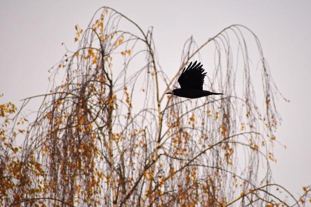Schönes bild eines vogels - rabe / krähe in der herbstnatur. (corvus frugilegus)