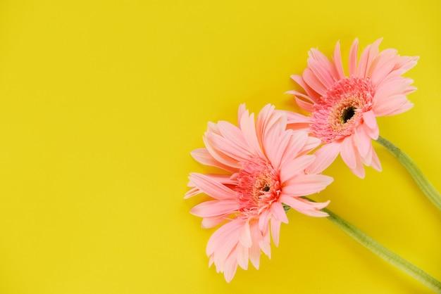 Schönes blühen des rosa blumensommers des gerberas auf gelb
