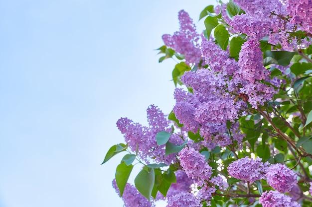 Schönes blühendes flieder gegen den blauen himmel, kopierraum