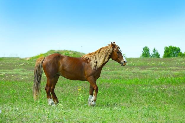 Schönes braunes pferd, das auf wiese weidet