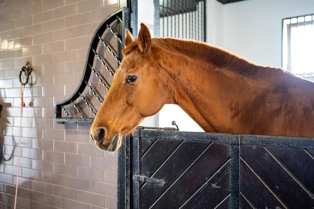 Schönes braunes pferd in einem stall im stall. reitverein und reitunterricht.