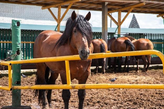 Schönes braunes pferd mit schwarzer mähne auf dem bauernhof. hengstzüchter des litauischen schweren lastwagens der rasse