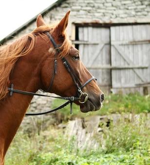 Schönes braunes pferd