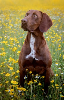Schönes brown braco deutsch kurzhaar