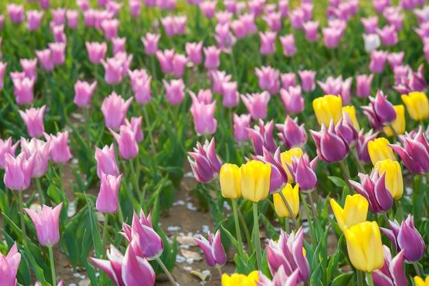 Schönes buntes tulpenfeld.